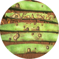Rond anthracnose.png